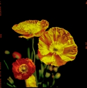 Poppies [photograph, 2000]