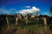 Cow [photograph, 2005]
